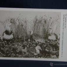 Postales: POSTAL GRUPO DE AVUTARDAS CENTRO DE ESPAÑA MUSEO NACIONAL CIENCIAS NATURALES . Lote 48918172