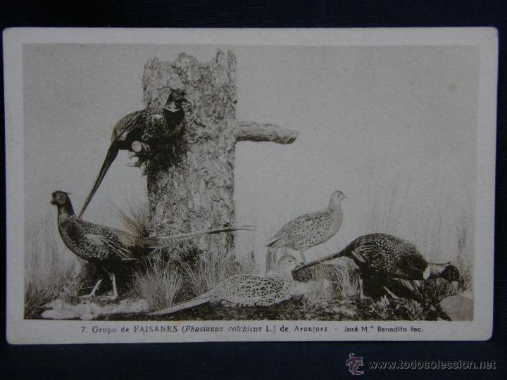 POSTAL GRUPO DE FAISANES DE ARANJUEZ REAL MUSEO NACIONAL CIENCIAS NATURALES (Postales - Postales Temáticas - Animales)