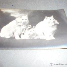 Postales: GATOS - ANTIGUA POSTAL FOTOGRAFICA GATOS . CIRCULADA 1916 - 14X9 CM. . Lote 53542655