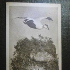 Postales: POSTAL - MUY ANTIGUA - PATOS - BRITISH MUSEUM - WATERLOW & SONS - NUEVA - SIN ESCRIBIR NI CIRCULAR. Lote 55842273