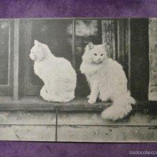 Postales: POSTAL - ANIMALES - GATOS - POSTAL AUSTRIA - DE PRINCIPIOS DE 1900 - SIN ESCRIBIR. Lote 61227935