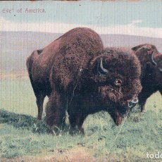 Postales: THE ADAM AND EVE OF AMERICA SHOWING BISON. Lote 64603451