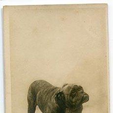 Postales: POSTAL FOTOGRÁFICA: PERRO BULLDOG ( CHIEN BULL-DOG ) MAD-PETER SAUL BOYER PARIS. REVERSO SIN DIVIDIR. Lote 95373179