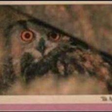 Postales: POSTAL DE ARCTOS - AVE - DUC - MUSOL MUCHUELO BÚHO REAL - FOTO ORIOL ALEMANY - PARC GARROTXA. Lote 95419659
