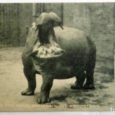 Postales: ANTIGUA POSTAL ZOOLOGICO DE LONDRES - HIPOPOTAMO. Lote 99943091