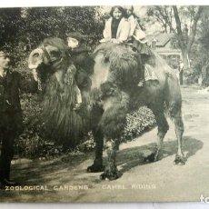 Postales: ANTIGUA POSTAL ZOOLOGICO DE LONDRES - PASEOS EN CAMELLO. Lote 99944219
