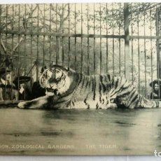 Postales: ANTIGUA POSTAL ZOOLOGICO DE LONDRES - TIGRE. Lote 99944859