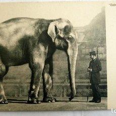 Postales: ANTIGUA POSTAL ESTUDIO DE ANIMALES - ELEFANTE ASIATICO. Lote 99946575