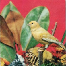 Postales: POSTAL AVES - PAJAROS / PAJARO - CANARIO - DOS PAJARITOS - 8030/E - RAKER - ESCRITA CON FECHA 1966. Lote 115711635