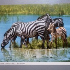 Postales: POSTAL GRANT ZEBRA AFRICA CEBRA ANIMAL JOHN HINDE. Lote 116527766