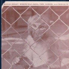 Postales: POSTAL MONO - RHESUS MONKEY - MACACA RHESUS - BENSON WILD ANIMAL FARM - HUDSON NEAR NASHUA N H. Lote 118988063