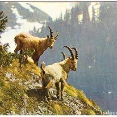 Postales: CABRAS SALVAJES - ALPES - ANIMALES DE MONTAÑA. Lote 122425851