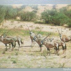 Postales: POSTAL AFRICA ANIMALES GEMSBOK RHODESIA. Lote 133316034