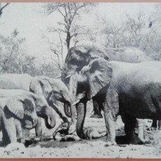 Postales: POSTAL BRILLO COLONIA ELEFANTES SABANA SUDAFRICA ELEPHANTS ED COLIN RICHARDS CIRCULADA PERFECTA CONS. Lote 139951834