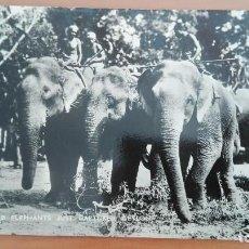 Postales: POSTAL BRILLO ELEFANTES Nº 31 ASIATICOS RECIEN CAPTURADOS ELEPHANTS JUST CAPTURED CEYLAN ASIA PERFEC. Lote 139953166