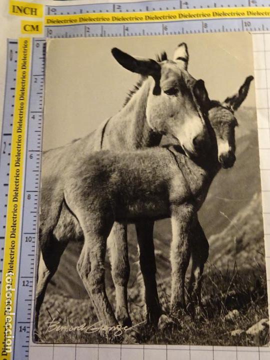 POSTAL DE ANIMALES. BURRO ASNO. 819 (Postales - Postales Temáticas - Animales)