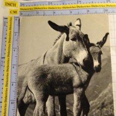 Postales: POSTAL DE ANIMALES. BURRO ASNO. 819. Lote 143010534