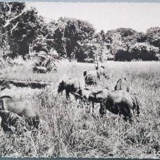 Postales: POSTAL BRILLO ELEFANTES ELEFANTE AFRICANO SABANA AFRICA TROUPEAU DE ELEPHANTS PERFECTA CONSERVACION. Lote 144826178