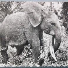 Postales: POSTAL BRILLO ELEFANTES ELEPHANTS SELVA FAUNA AFRICANA AFRICA PERFECTA CONSERVACI. Lote 144826346