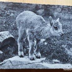 Postales: FOTO POSTAL CABRITA PEQUEÑA CABRA CABRITO - FOTO FLURY. Lote 148074070