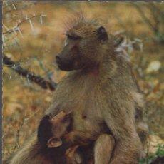 Postales: POSTAL BABBUINO SCIMMIA AFRICA - MONO CON CRIA. Lote 155211158