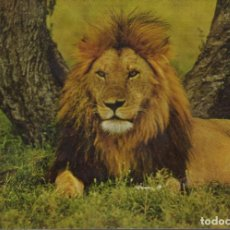Postales: POSTAL Nº 3 ANIMALES SALVAJES - LEON. Lote 155622758