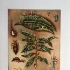 Postales: AGRICULTURA. POSTAL SECCIÓN FITOPATOLOGÍA Y PLAGAS DEL CAMPO. LA CRISOPA (H.1940?). Lote 164107593