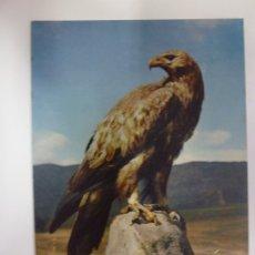 Postales: POSTAL. GOLDEN EAGLE. ÁGUILA. ED. ARTHUR DIXON. NO ESCRITA. . Lote 178776516