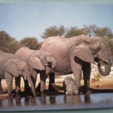Postales: POSTAL ELEFANTES ELEFANTE AFRICANO NAMIBIA DRINKING ELEPHANTS AT GOAS AFRICA PERFECTA CONSERVACION. Lote 181011991