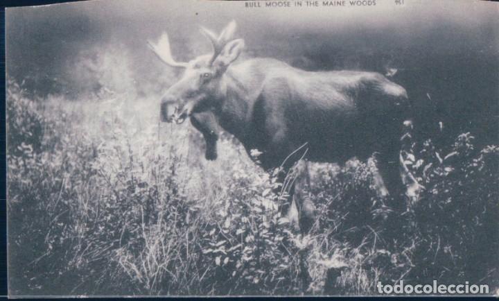 POSTAL RENO - BULL MOOSE IN THE MAINE WOODS - AMERICANA - CIRCULADA (Postales - Postales Temáticas - Animales)