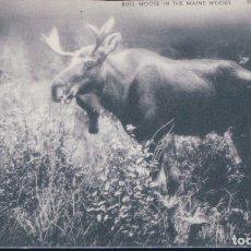 Postales: POSTAL RENO - BULL MOOSE IN THE MAINE WOODS - AMERICANA - CIRCULADA. Lote 182964775