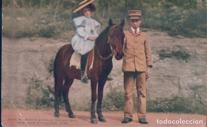 POSTAL CABALLO - PONY - ZOOLOGICO NEW YORK (Postales - Postales Temáticas - Animales)