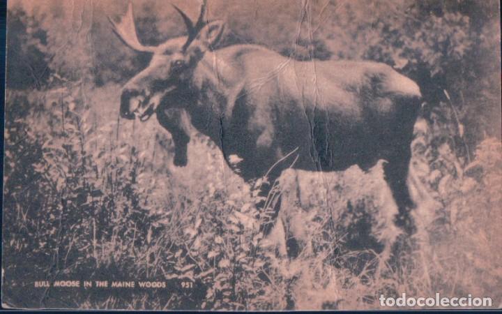 POSTAL BULL MOOSE IN THE MAINE WOODS - AMERICAN ART POST CARD - RENO (Postales - Postales Temáticas - Animales)