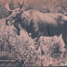 Postales: POSTAL BULL MOOSE IN THE MAINE WOODS - AMERICAN ART POST CARD - RENO. Lote 184684117