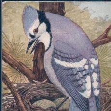 Postales: POSTAL DIBUJO DE PAJARO ARRENDAJO AZUL - BLUE JAY - FIRMADA REED - AMERICANA. Lote 188509873