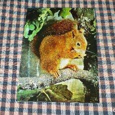 Postales: ANIMALES -- ARDILLA, NO CIRCULADA.. Lote 190435980