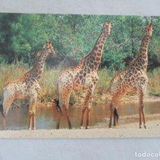 Postales: JIRAFAS - SOUTH AFRICA - S/C. Lote 191712836