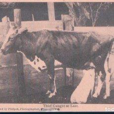 Postales: POSTAL CERDO MAMANDO DE UNA VACA - THIEF CAUGHT AT LAST - CIRCULADA. Lote 191832950