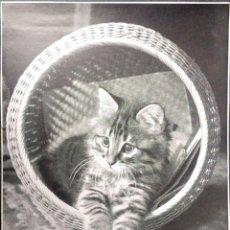 Postales: GATO (55 ). NUEVA. BLANCO/NEGRO. VER FOTO. Lote 194259053