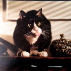 Postales: GATO (58 ). NUEVA. COLOR. VER FOTO. Lote 194259061