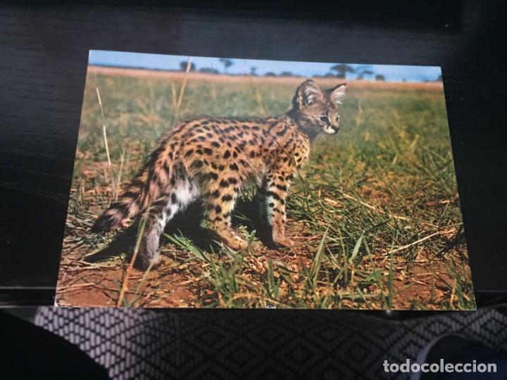 POSTAL DE FAUNA DE KENYA - LA DE LA FOTO VER TODAS MIS POSTALES (Postales - Postales Temáticas - Animales)