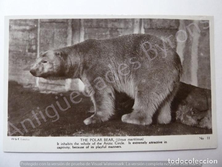 POSTCARD. THE POLAR BEAR (Postales - Postales Temáticas - Animales)