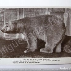 Postales: POSTCARD. THE POLAR BEAR. Lote 195383625