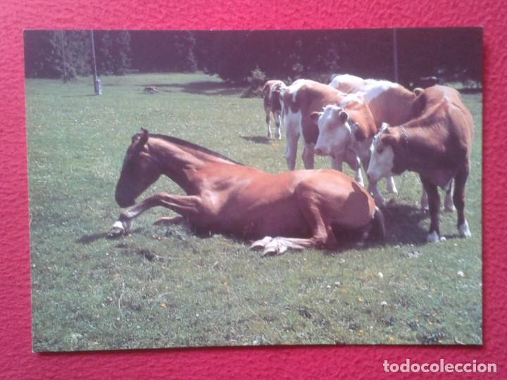 POSTAL POST CARD GRAN TAMAÑO CABALLOS HORSES CHEVAUX PFERDE FOUNDATION POUR LE CHEVAL LE ROSELET.... (Postales - Postales Temáticas - Animales)