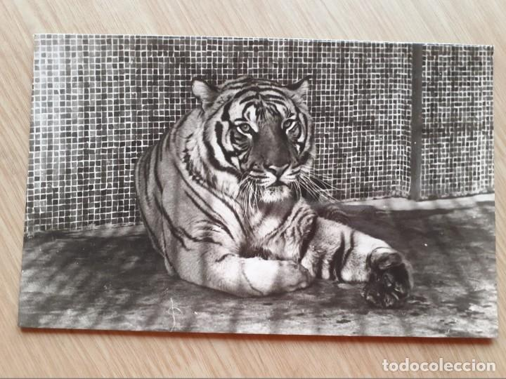 TARJETA POSTAL - PARQUE ZOOLOGICO DE BARCELONA - TIGRE DE BENGALA (INDIA) (Postales - Postales Temáticas - Animales)