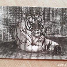 Postales: TARJETA POSTAL - PARQUE ZOOLOGICO DE BARCELONA - TIGRE DE BENGALA (INDIA). Lote 206326601