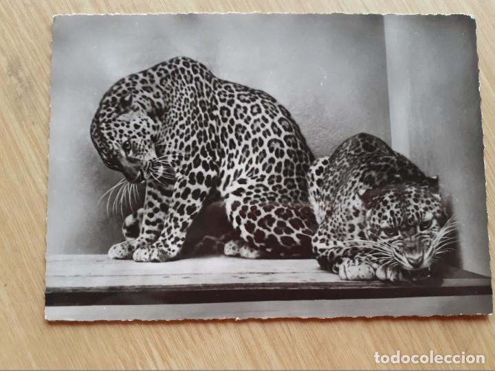 TARJETA POSTAL - FRANCIA - PANTHERS ASIA (Postales - Postales Temáticas - Animales)