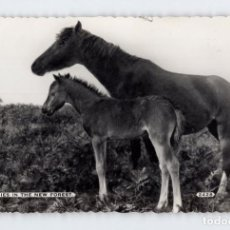 Postales: PONIES IN THE NEW FOREST -PUBLICADO POR DEARDEN & WADE, BOURNEMOUTH, INGLATERRA-. Lote 210433006