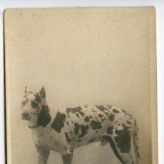 Postales: ARAGO (CHIEN DANOIS) POSTAL FOTOGRÁFICA PAUL BOYER PARIS, REVERSO SIN DIVIDIR, PERRO RAZA. Lote 214968137
