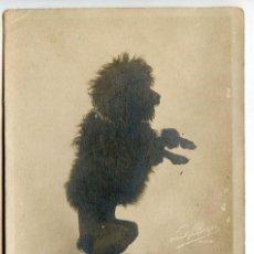 Postales: PRINCESSE CORA (CHIENNE CANICHE) POSTAL FOTOGRÁFICA PAUL BOYER PARIS, REVERSO SIN DIVIDIR PERRO RAZA. Lote 214968221